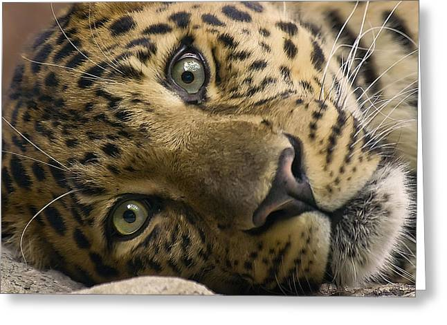 Jaguars Greeting Cards - Stare Down Greeting Card by Cheri McEachin