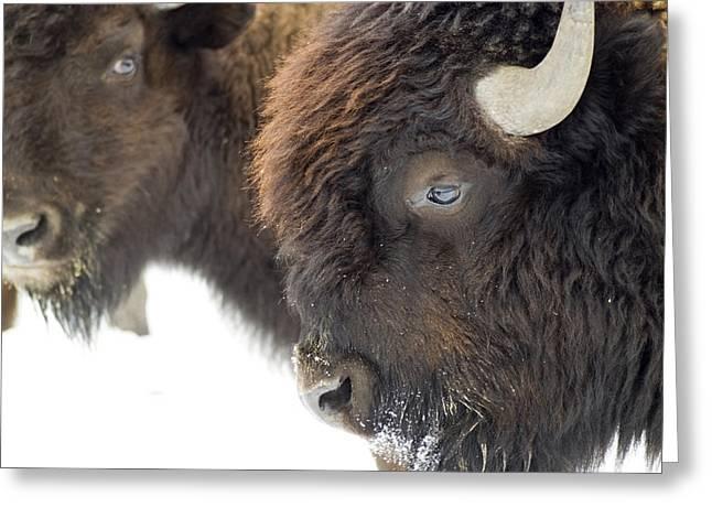 Buffalo Greeting Cards - Stare Down Greeting Card by Wayne Stadler