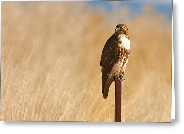 Zoology Greeting Cards - Stare of a Red-tailed Hawk Greeting Card by Ram Vasudev