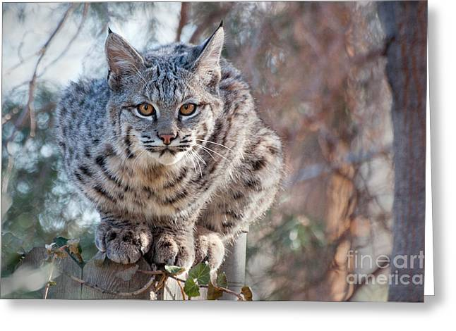 Bobcats Greeting Cards - Staring Kitty Greeting Card by Eivor Kuchta