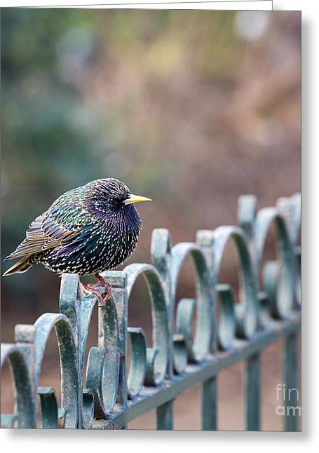 Beautiful Cities Greeting Cards - Starling juvenile male Greeting Card by Jane Rix