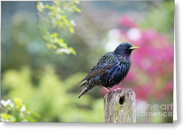 Iridescence Greeting Cards - Starling  Greeting Card by Tim Gainey