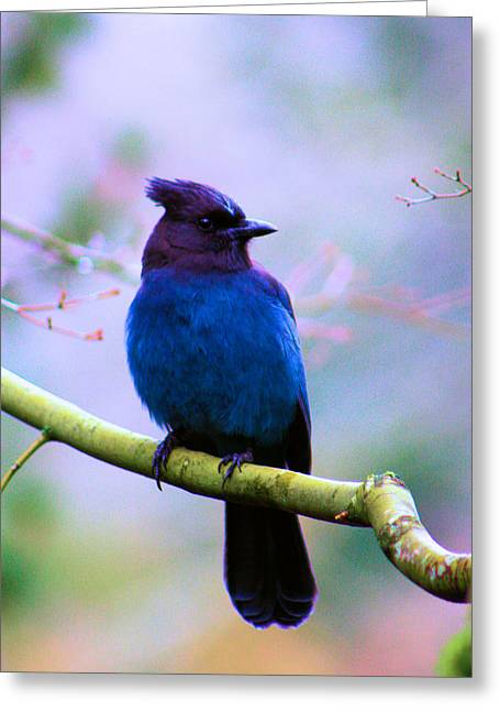 Bird On Tree Greeting Cards - Stellar Jay Greeting Card by Nick Gustafson