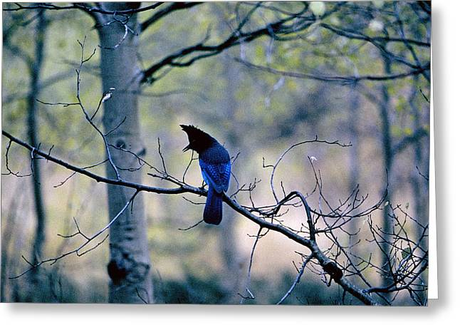 Stellar's Jay In An Aspen Forest Greeting Card by Buddy Mays