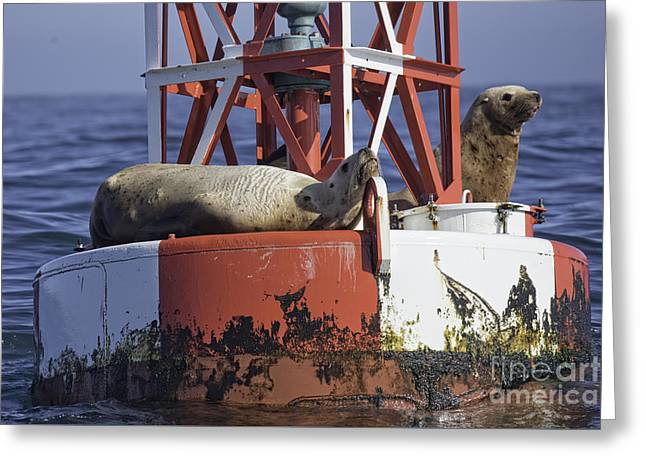 Sea Lions Greeting Cards - Steller Bouy Greeting Card by Tim Moore