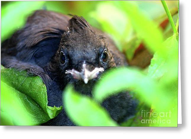 Stellers Jay Chick . 40D501 Greeting Card by Wingsdomain Art and Photography
