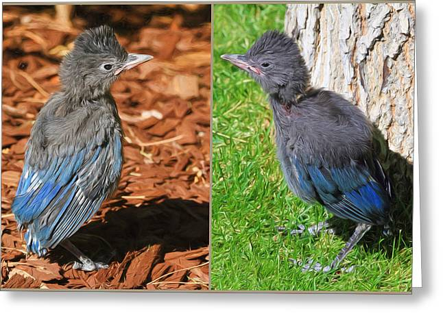 Fledglings Greeting Cards - Stellers Jay Fledglings Greeting Card by Donna Kennedy