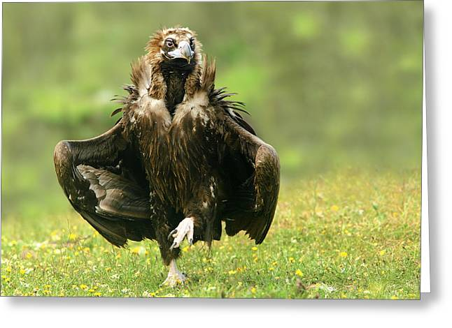 Vulture Greeting Cards - Step Dancing Greeting Card by Nicolas Merino