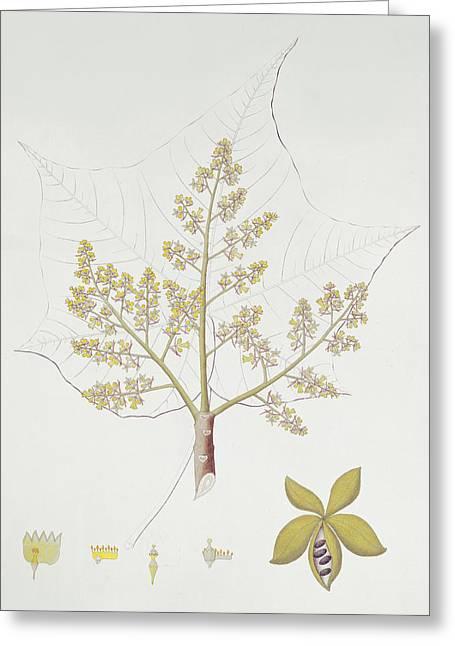 Seeds Drawings Greeting Cards - Sterculia Urens Greeting Card by English School