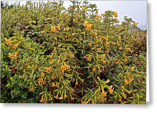 Sticky Monkey Flower Bush In Point Lobos State Reserve Near Monterey-california  Greeting Card by Ruth Hager
