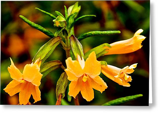 Sticky Monkey Flowers Closeup In Point Lobos State Reserve Near Monterey-california  Greeting Card by Ruth Hager