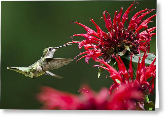 Hovering Greeting Cards - Sticky Sweet Hummingbird Greeting Card by Christina Rollo