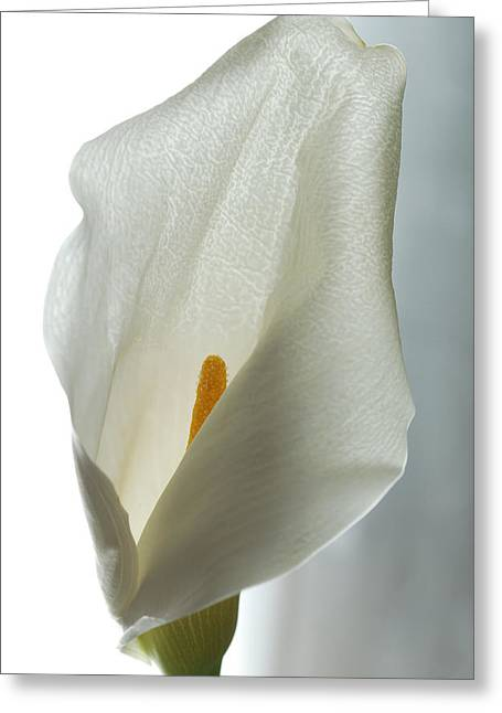 Calla Lily Greeting Cards - Still Life Calla Greeting Card by Terence Davis