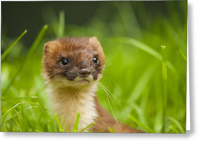 Carnivore Greeting Cards - Stoat portrait Greeting Card by Paul Neville