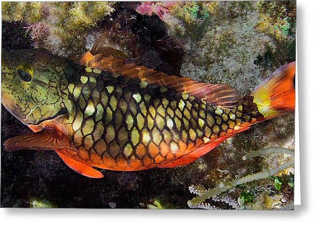 Clown Fish Photographs Greeting Cards - Stoplight Clown Fish Greeting Card by Andrew Kubica