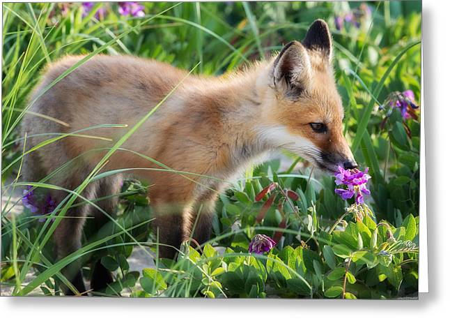Fox Photographs Greeting Cards - Stopping to Smell the Flowers Greeting Card by Bill Wakeley