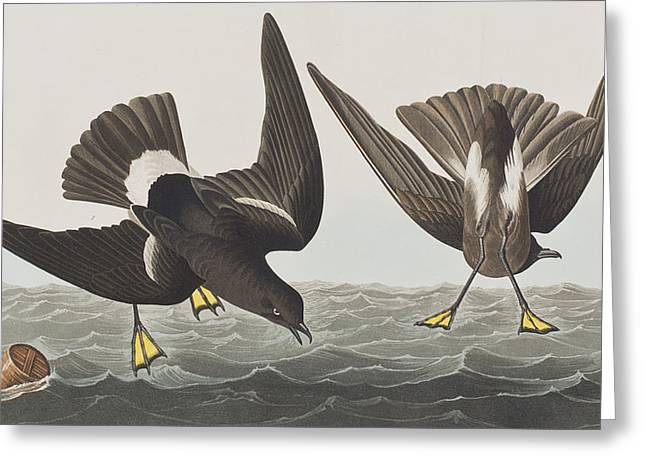 Breeds Greeting Cards - Stormy Petrel Greeting Card by John James Audubon