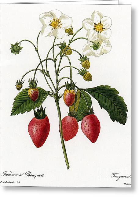 1833 Greeting Cards - Strawberry Greeting Card by Granger
