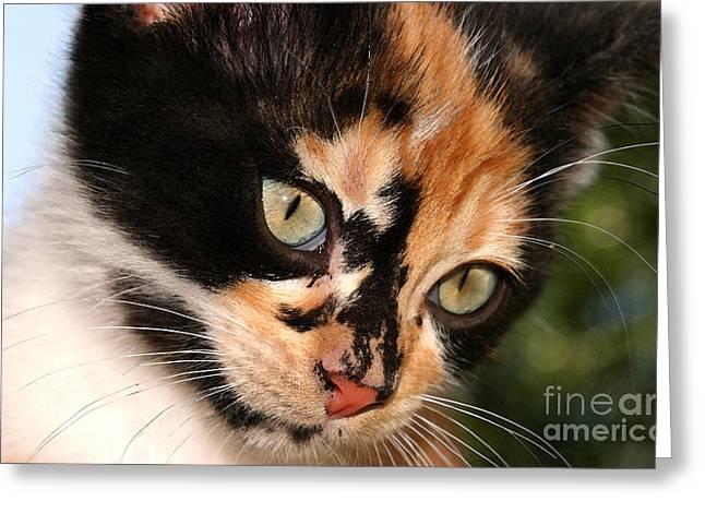 Steve Augustin Greeting Cards - Stray Kitten Greeting Card by Steve Augustin