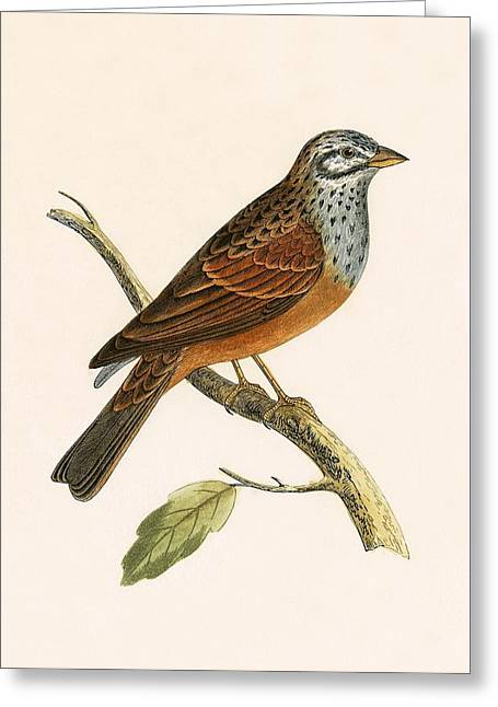 Striolated Bunting Greeting Card by English School