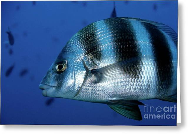 Striped Seabream Greeting Cards - Striped Zebra Seabream swimming in blue waters Greeting Card by Sami Sarkis