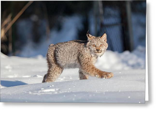 Bobcats Greeting Cards - Struttin Her Stuff Greeting Card by Sandy Brooks
