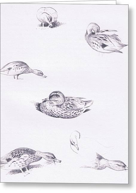 Studies Of Mallard Ducks Greeting Card by Archibald Thorburn