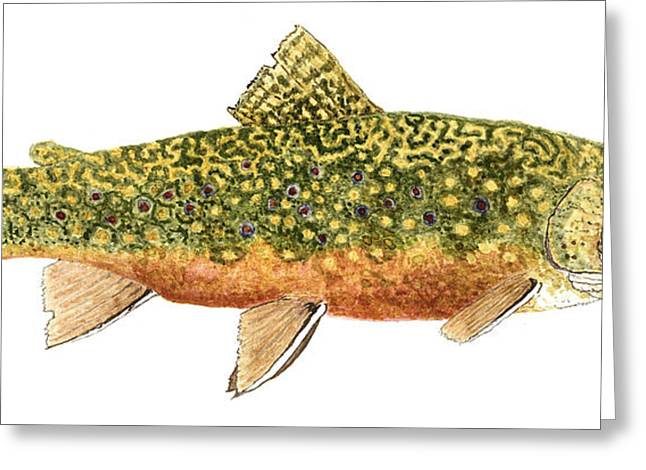Thom Glace Greeting Cards - Study of a Wild Brook Trout Greeting Card by Thom Glace