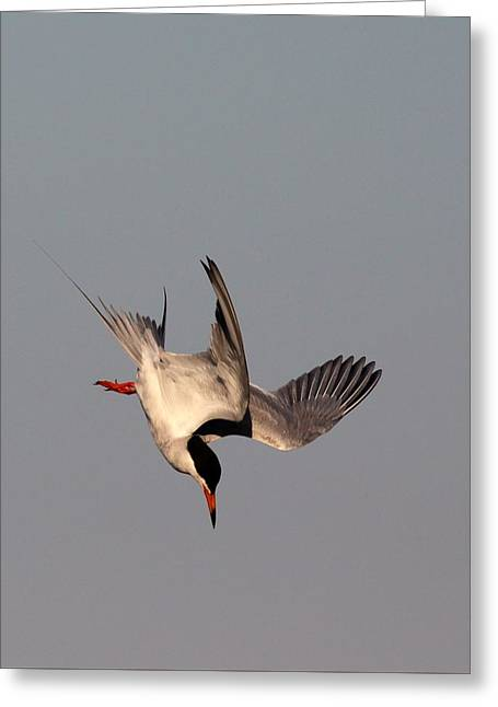 Tern Greeting Cards - Sturzflug Greeting Card by Elka Lange