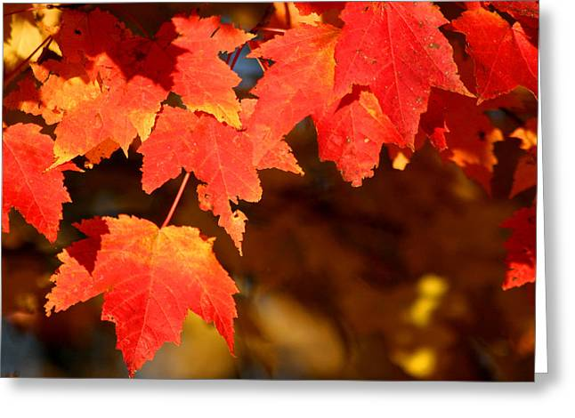Fall Trees Greeting Cards - Sugar Maple Leaves in Fall Greeting Card by Brook Burling