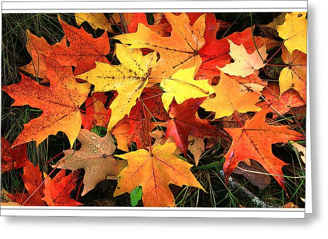 Sugar Maple Greeting Cards - Sugar Maple Greeting Card by Margaret Hood