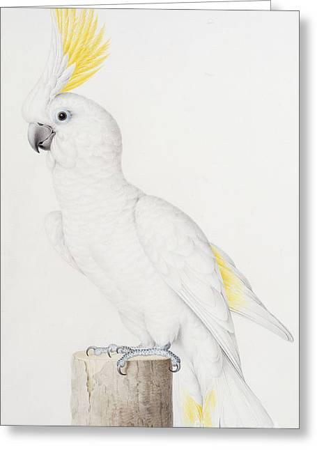 Sulphur Crested Cockatoo Greeting Card by Nicolas Robert