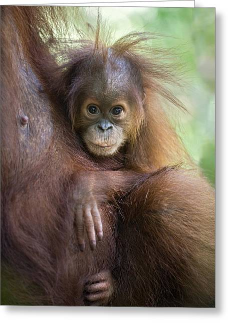 Sumatran Orang-utans Greeting Cards - Sumatran Orangutan 9 Month Old Baby Greeting Card by Suzi Eszterhas