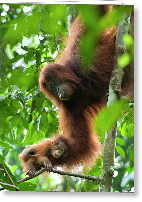 Sumatran Orang-utans Greeting Cards - Sumatran Orangutan Pongo Abelii Two Greeting Card by Suzi Eszterhas