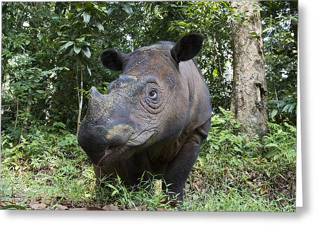Critically Endangered Species Greeting Cards - Sumatran Rhinoceros Sumatran Rhino Greeting Card by Suzi Eszterhas