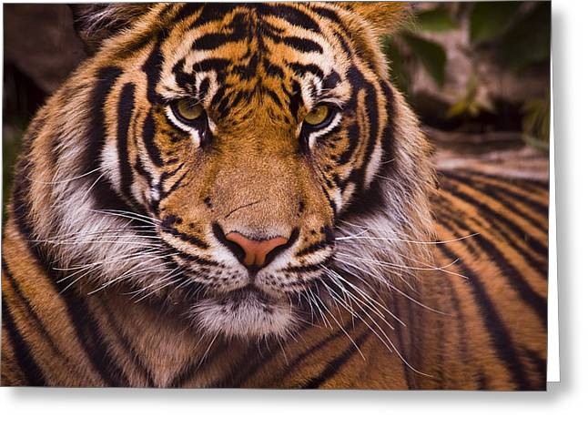 Close Ups Greeting Cards - Sumatran Tiger Greeting Card by Chad Davis