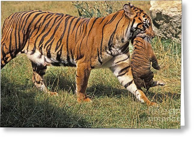 Sumatran Tiger Greeting Card by Gerard Lacz