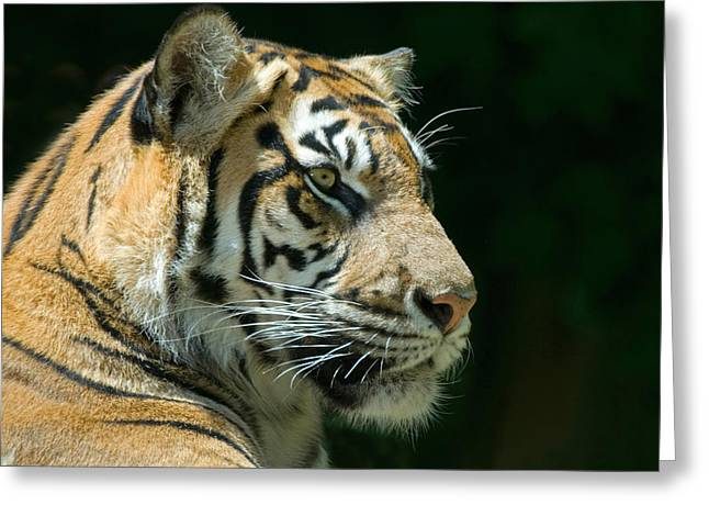 Tigers Greeting Cards - Sumatran Tiger Greeting Card by Mary Lane