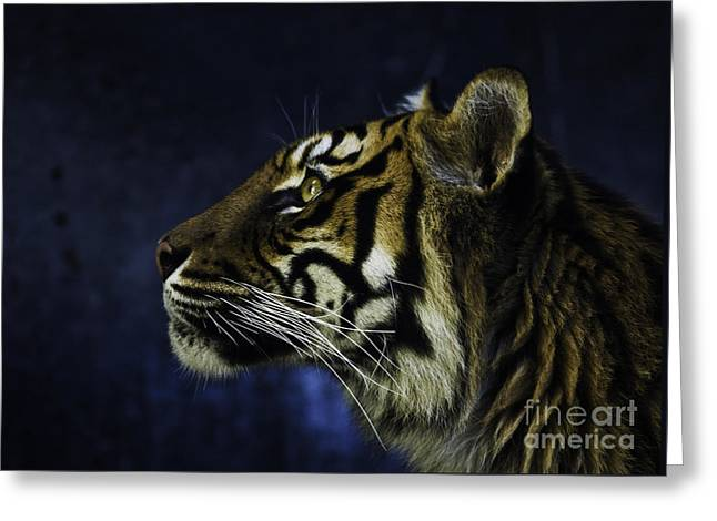Tiger Greeting Cards - Sumatran tiger profile Greeting Card by Sheila Smart