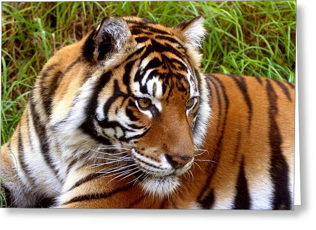 Sumatran Tiger Greeting Card by Tony Brown