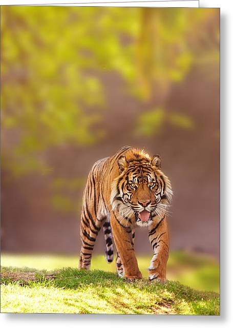 Zoology Greeting Cards - Sumatran Tiger Walking Forward Greeting Card by Susan  Schmitz