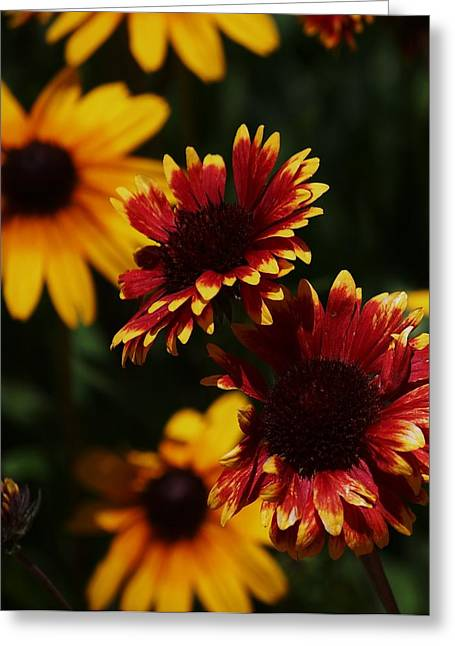 Daisy Bud Greeting Cards - Summer Beauty Greeting Card by Helen Carson