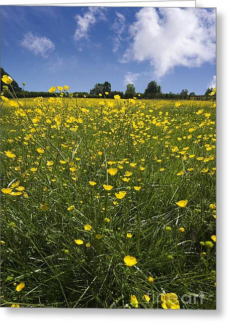 Habitat Greeting Cards - Summer Buttercups Greeting Card by Meirion Matthias
