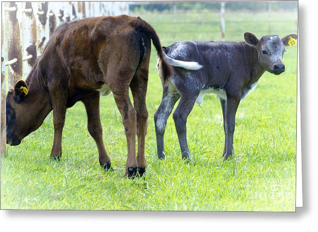 Christine Belt Greeting Cards - Summer Calves in Waterloo Greeting Card by Christine Belt