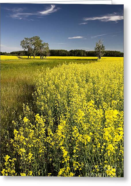Alberta Prairie Landscape Greeting Cards - Summer Canola Field Greeting Card by Royce Howland