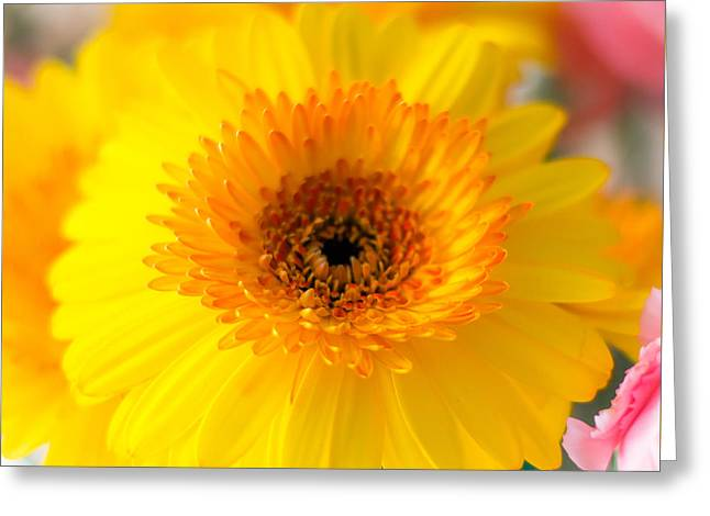 Barberton Daisy Greeting Cards - Summer Colors Greeting Card by Shelby  Young