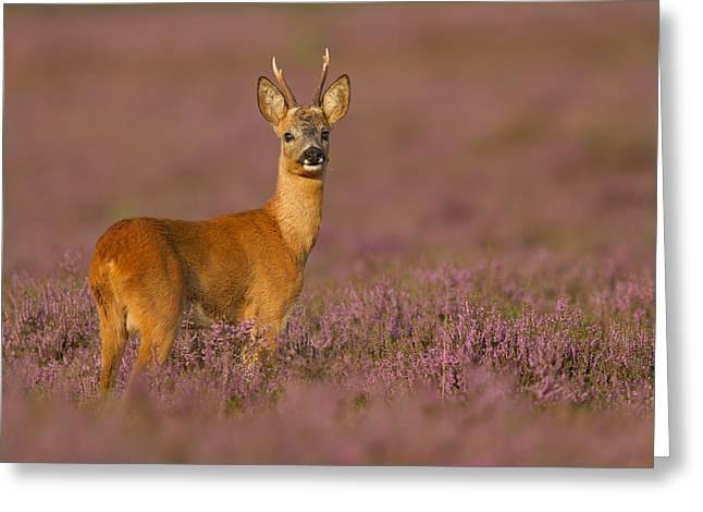 Summer Evening Roe Deer Greeting Card by Andy Luberti