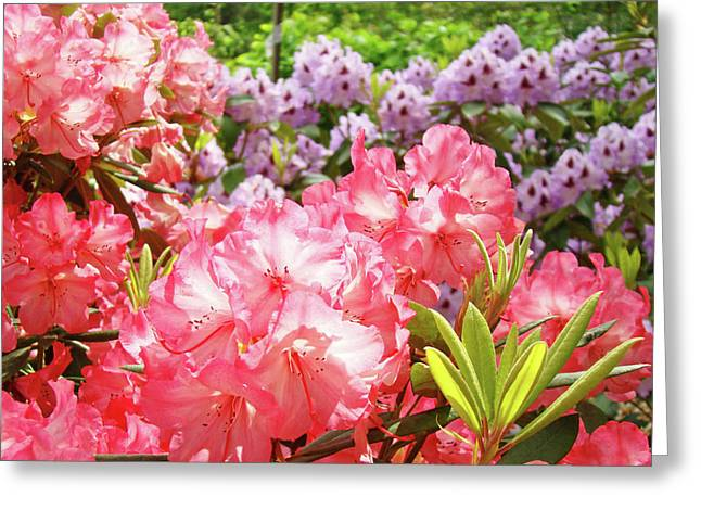 Summer Garden Pink Purple Rhododendrons Baslee Greeting Card by Baslee Troutman