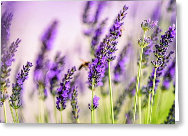 Summer Lavender  Greeting Card by Nailia Schwarz