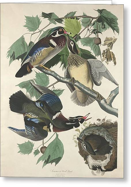 Summer Or Wood Duck Greeting Card by John James Audubon